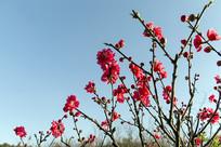 满树桃花开