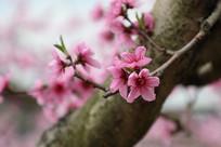 美丽绽放的桃枝