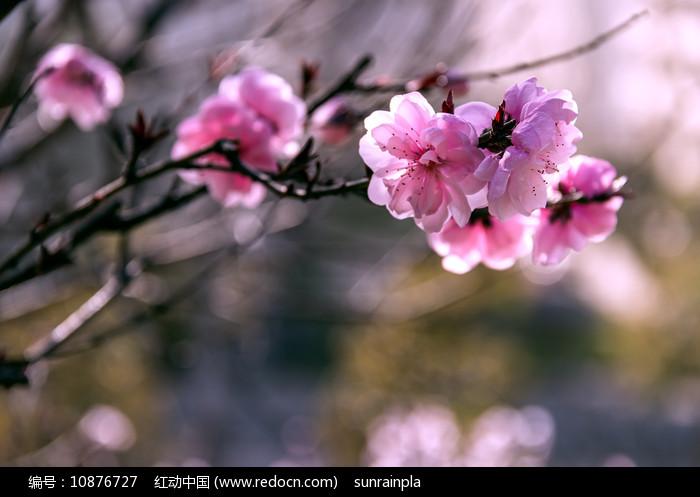 盛开的粉红色桃花图片