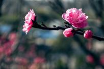 盛开的粉色碧桃花