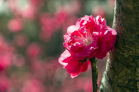盛开的红碧桃