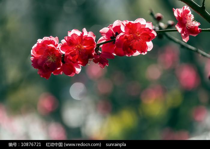 盛开的红色碧桃花图片