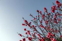 桃花朵朵开