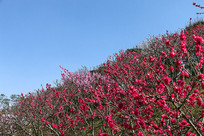 桃花满山坡