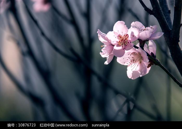 透亮的粉红色桃花图片