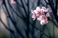 透亮的粉红色桃花