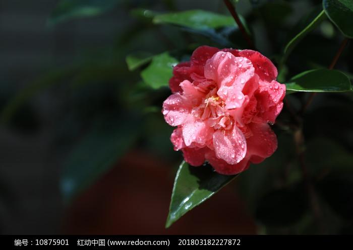 唯美茶花花朵开放图片