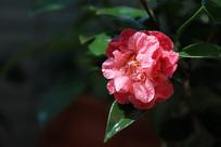 唯美茶花花朵开放