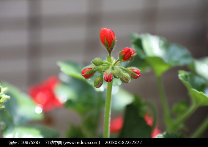 唯美含苞待放天竺葵图片