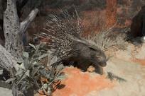 野生动物标本-南非豪猪