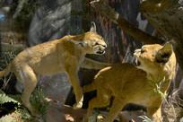 野生动物标本-狞猫