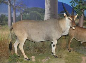 野生动物标本-普通大羚羊