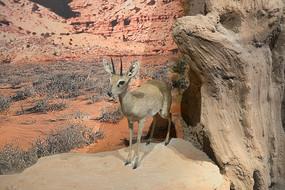 野生动物标本-沙氏岩羚