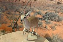 野生动物标本-小岩羚