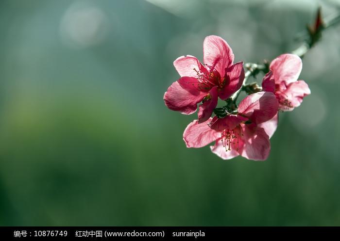 一束红色桃花 图片