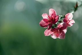 一束红色桃花