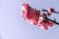 一枝粉红色的桃花