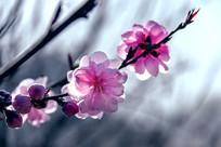 一枝粉红色的桃花和骨朵