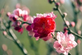 一枝双色桃花