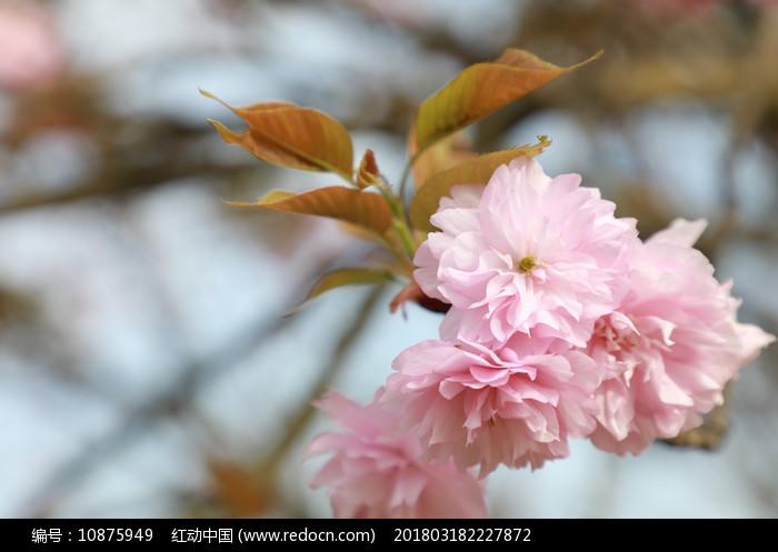 绽放的樱花图片