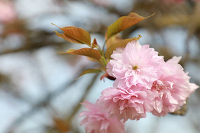 绽放的樱花