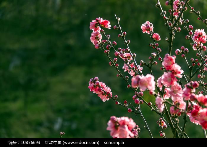 枝头桃花开图片