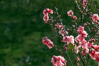 枝头桃花开