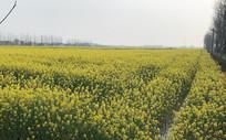春日油菜地