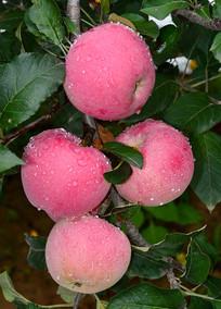 带露珠的红苹果