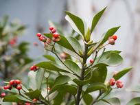 冬青卫矛红色蒴果和绿色枝叶
