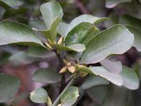 冬青卫矛绿色枝叶
