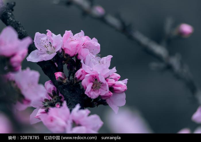 粉红色的桃花图片