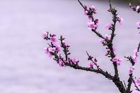 粉红色的桃花盛开