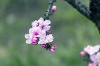 粉红色的桃花树枝