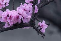 粉色碧桃盛开