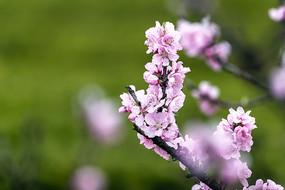 粉色桃花满枝头