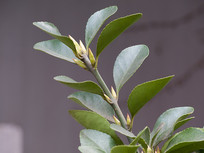 观赏植物冬青卫矛绿色枝叶