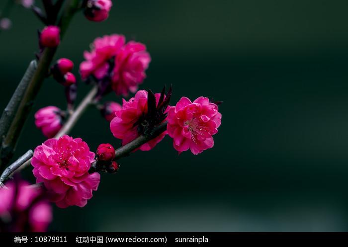 红碧桃花开图片