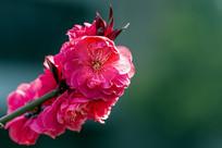 红花红叶碧桃
