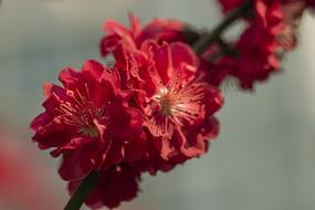 红花红叶碧桃绽放