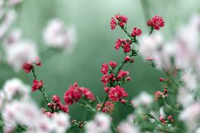 红色桃花开