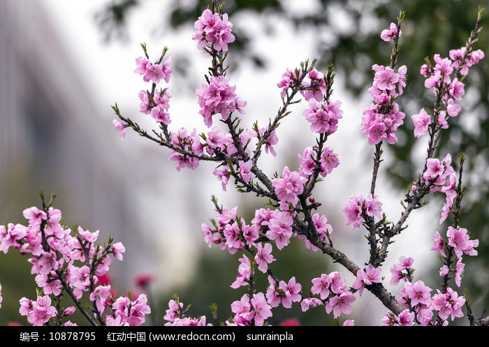 开满粉红色桃花的树枝图片