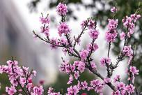 开满粉红色桃花的树枝