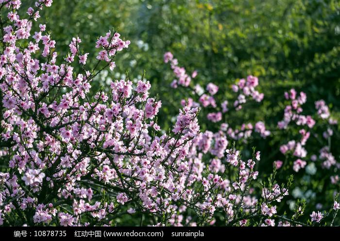 开满粉色桃花的枝头图片