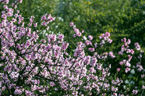 开满粉色桃花的枝头