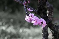 老枝粉色桃花
