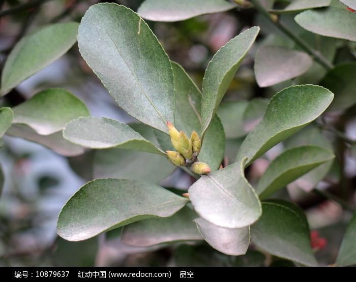 绿化植物冬青卫矛绿色枝叶图片