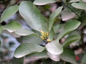 绿化植物冬青卫矛绿色枝叶