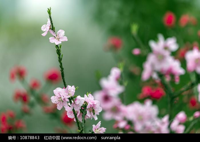 绿叶粉色碧桃图片