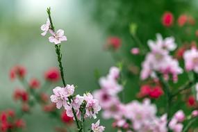 绿叶粉色碧桃